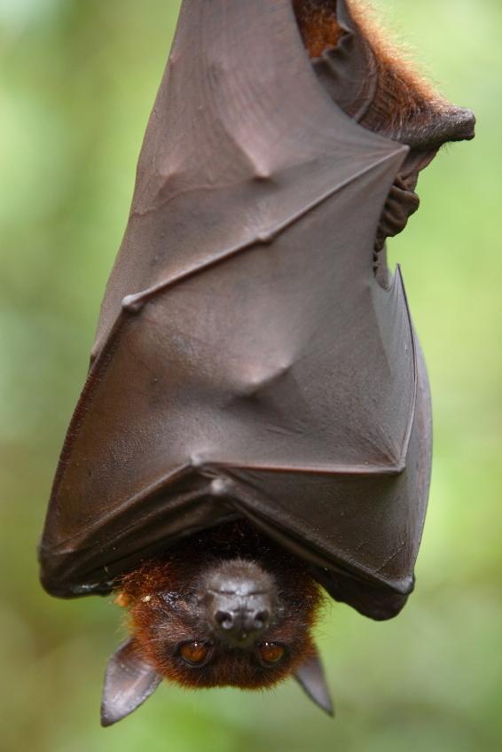 خفاش,