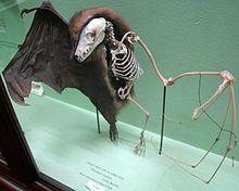 استخوان بندی بدن خفاش میوه خوار