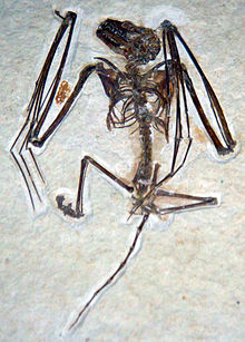 سنگواره خفاش ایکارونیکتریس